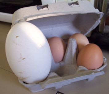 Goose and Chicken eggs compared
